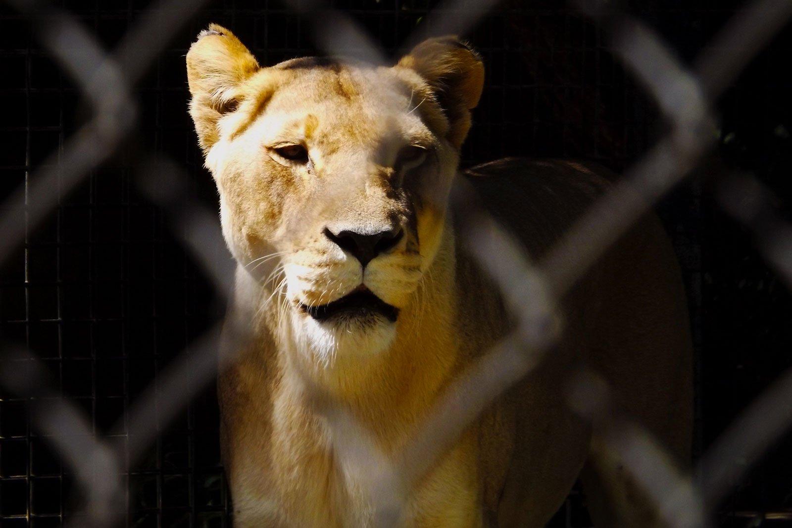 Ce que le lion de New York nous apprend…